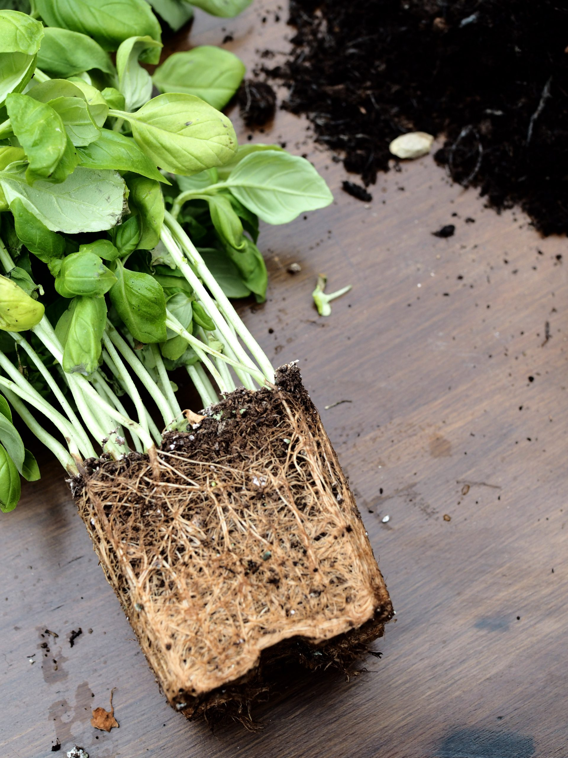 How To Make Supermarket Basil Last Longer